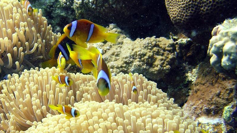 anemone-fish-hurghada-egypt.jpg