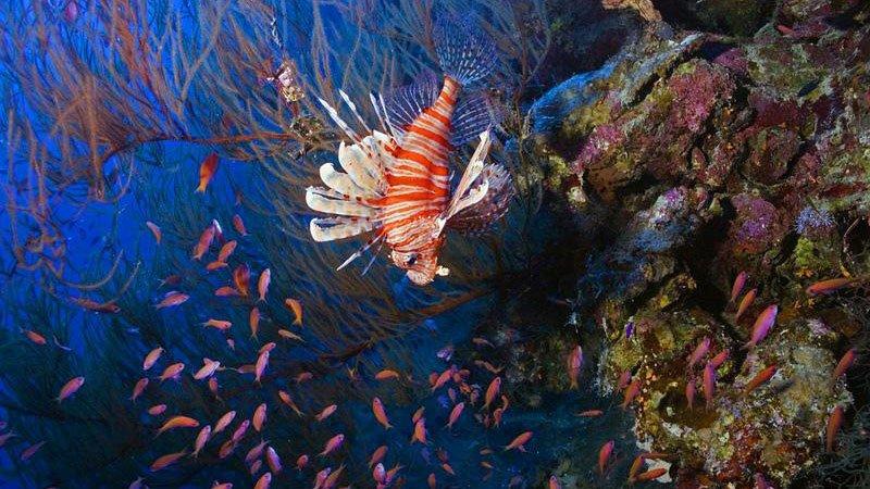 lionfish-hurghada-egypt.jpg