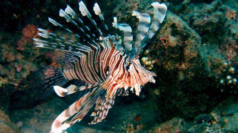 lionfish-red-sea-egypt.jpg