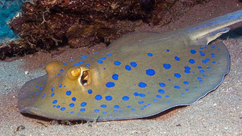 spotted-ray-red-sea-egypt.jpg